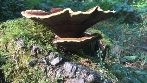 Ein Baumpilz auf einem Baumstumpf