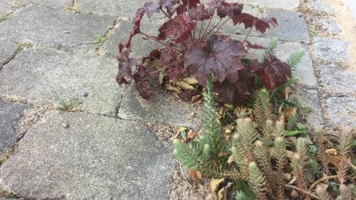Pflanzen zwischen Pflastersteinen