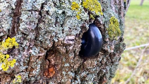 Ein Isolator für einen Weidezaun ist fast vollständig im Baum verschwunden.