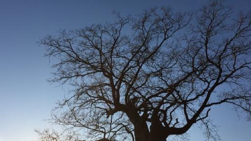 Die Krone eines alten Baumes