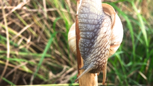 Eine Schnecke kletter an einem Getreidehalm herunter