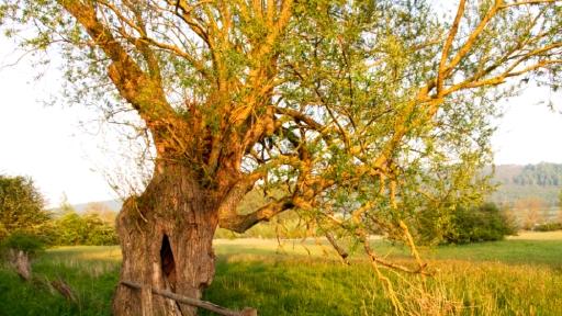 Ein alter, knorriger Baum wird vom Abendlicht der Sonne angestrahlt. Im Hintergrund Wiesen, Bäume und begrünte Berge.