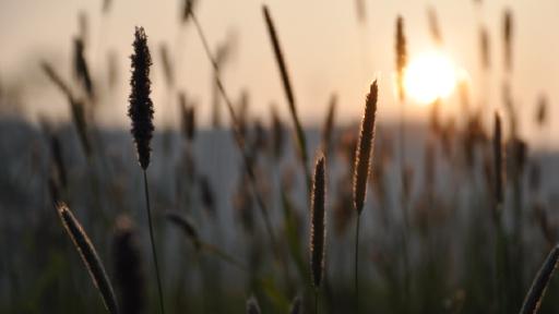 Gräser im Licht der untergehenden Sonne