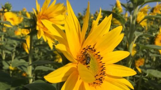 Eine große Sonnenblumenblüte mit einer Biene steht in einem großen Sonnenblumenfeld
