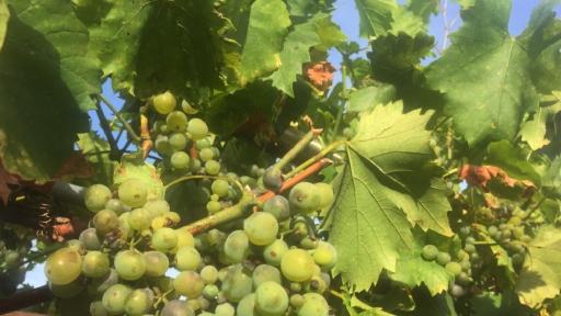 Weintrauben an einer Rebe