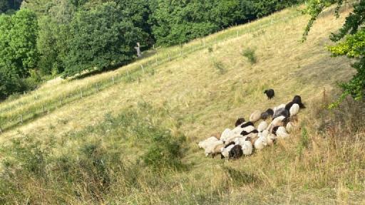 Mehrere Schafe auf einer Weider am Steilhang