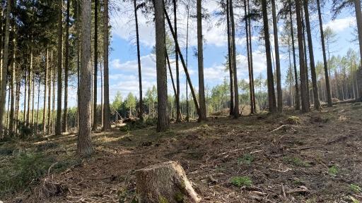 Ein ehemals geschlossener Wald. Viele vom Sturm umgeworfene Bäume wurden schon entfernt. Nur noch wenige Bäume sind verblieben.