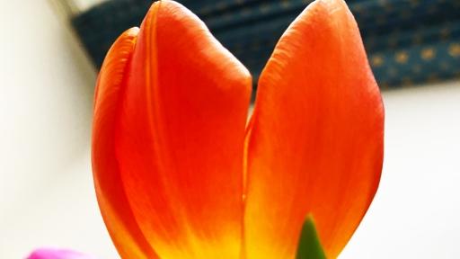 Die Blüte einer Tulpe