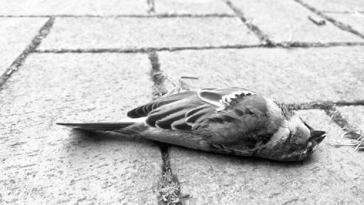 Ein toter Vogel liegt auf Pflastersteinen