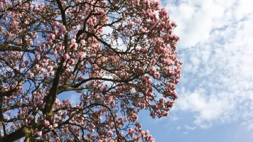 Eine Magnolie mit vielen Blüten.