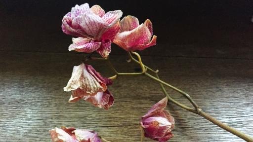 Ein Zweig mit den vertrockneten Blüten einer Orchidee