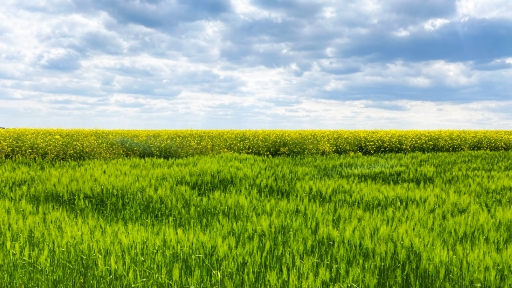 Ein Getreidefeld, dahinter ein Rapsfeld, ein Himmel voller Wolken.