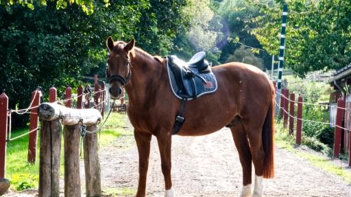 Ein besattelt Pferd wartet auf seine Reiterin.