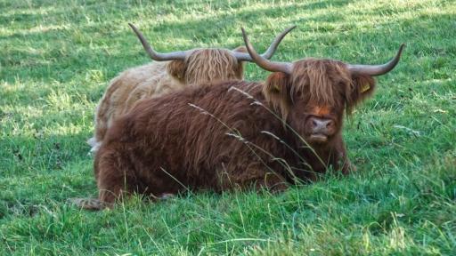 Zwei Highlandrinder liegen im Gras