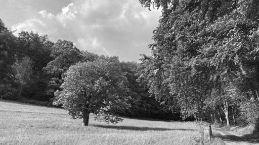 Eine Wiese vor einem Waldrand. Auf der Wiese steht eine Kastanie. Rechts ist ein Stück von einem Weg zu sehen.