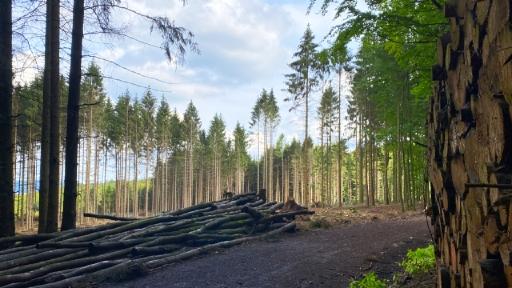 Abgestorbene Bäume in einem Wald