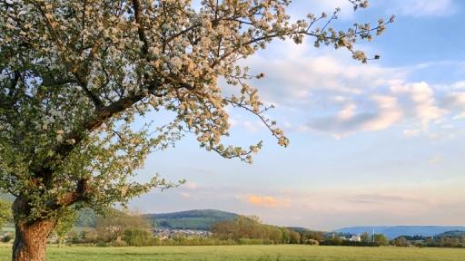 Links ein Obstbaum mit vielen Blüten, rechts Wiesen im Hintergrund Häuser einer Stadt.