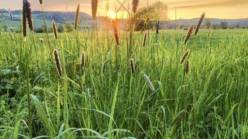 Im Vordergrund Gräser im Hintergrund kleine Hügel hinter denen die Sonnen untergeht.