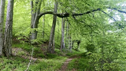Ein Wanderweg zwischen alten Bäumen.
