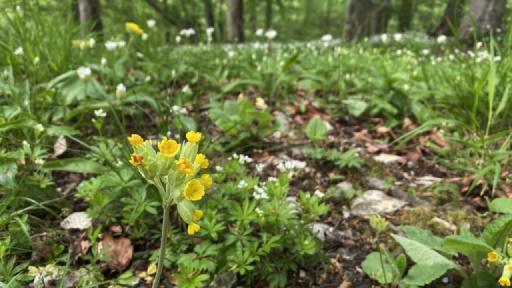 Im Vordergrund die Blüten einer Schlüsselblume. Im Hintergrund weiße Blüten von Bärlauch und Waldmeister.