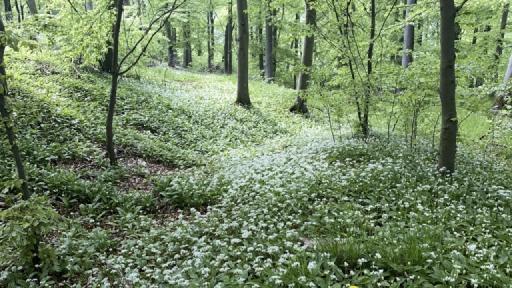 Unzählige weiße Blüten zwischen Bäumen.