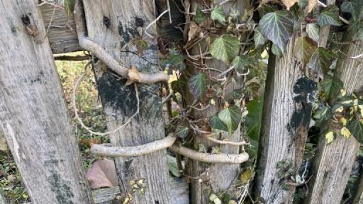 Ein Efeu ist an den Holzlatten eines Gartenzaunes hochgewachsen.
