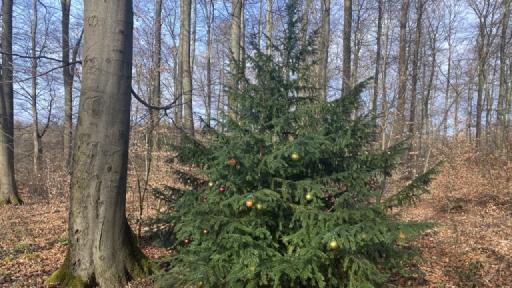 An einem kleinen Nadelbaum im Wald hängen Weihnachtsbaumkugeln