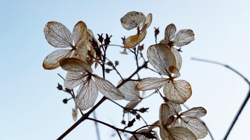 Vertrocknete Blüten einer Hortensie
