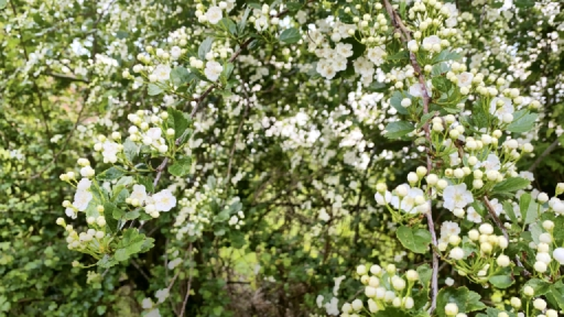 Viele weiße Blüten in einer Hecke.