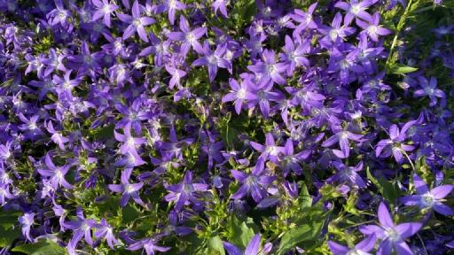 Eine niedrig wachsende Pflanze mit vielen blauen Blüten.