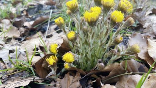 Gelbblühende Pflanzen wachsen zwischen dem verwelkendem Laub des Vorjahres.