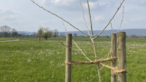 Die Baumkrone einer Schwarz-Pappel bei der sich langsam die Blätter herausbilden. Im Hintergrund Wiesen und Bäume.