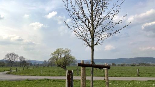 Die Baumkrone einer Linde bei der sich langsam die Blätter herausbilden. Im Hintergrund Wiesen und Bäume.