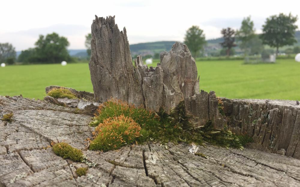 Das Hirnholz von einem Kamppfahl