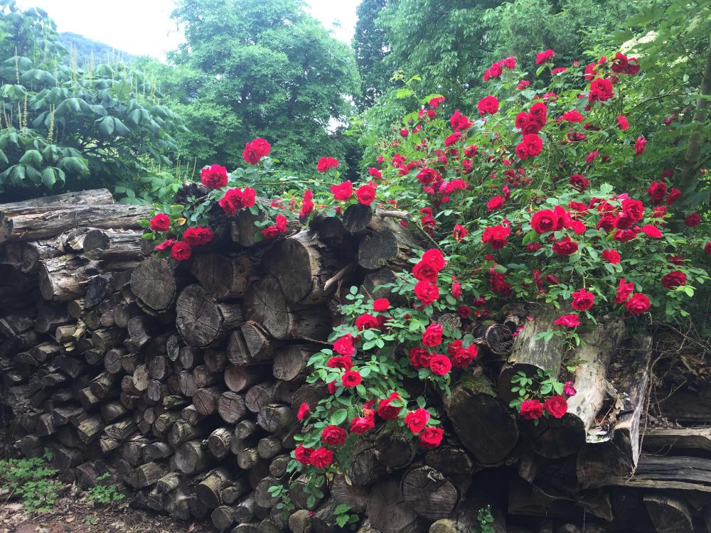 Rosen wachsen über ein Holzlager