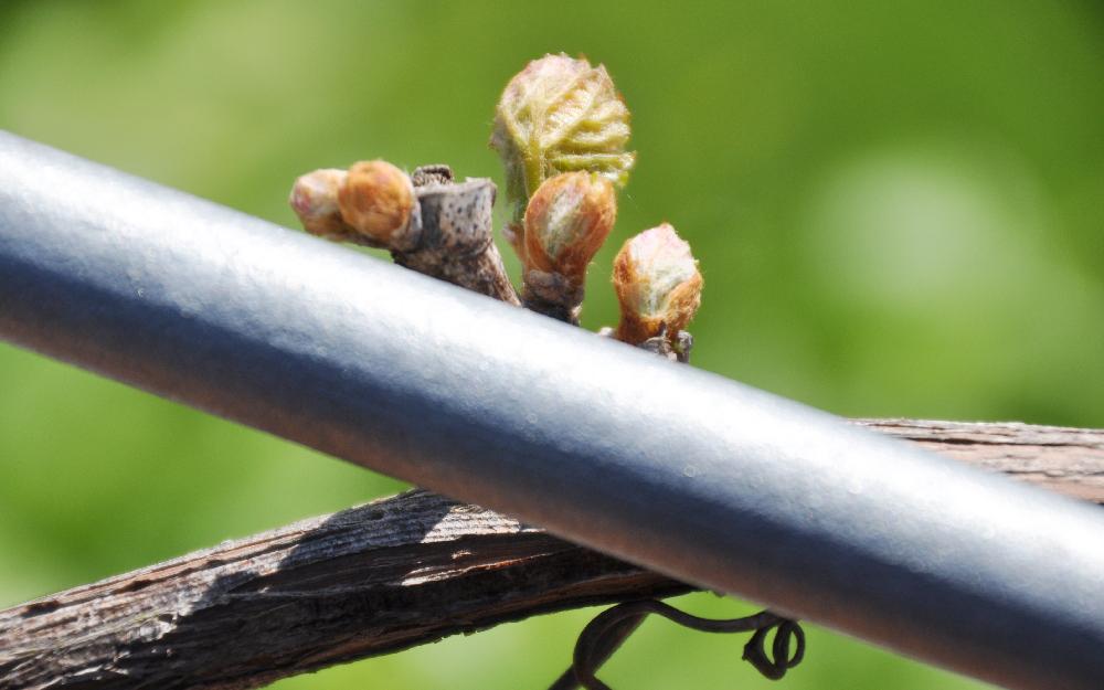 Die Knospe einer Weinpflanze