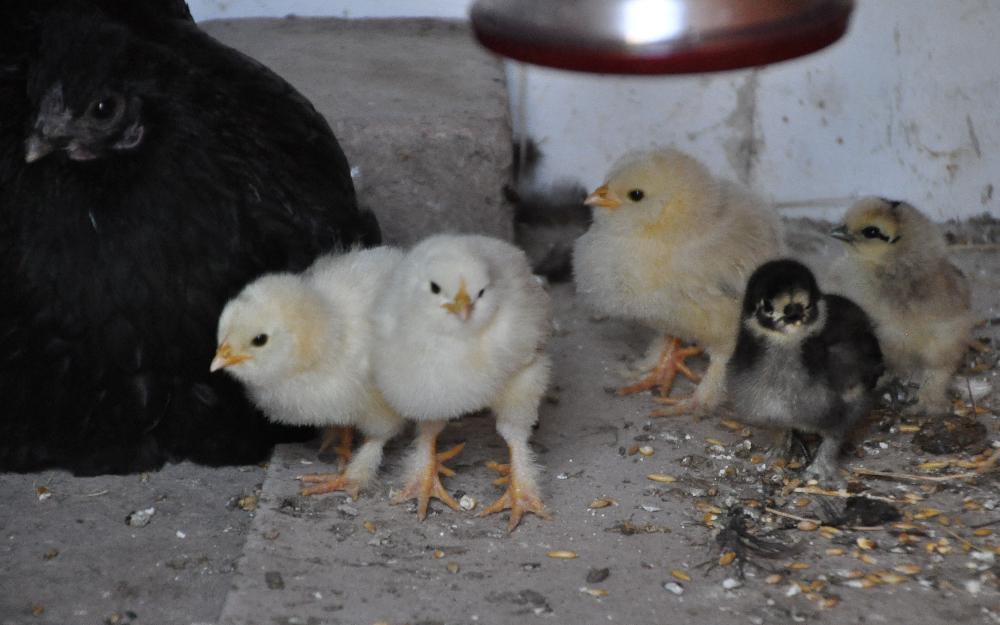 Eine Huhn mit kleinen Küken