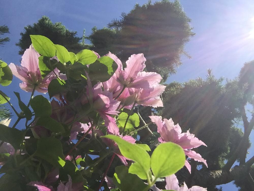 Eine Zeder mit Blüten