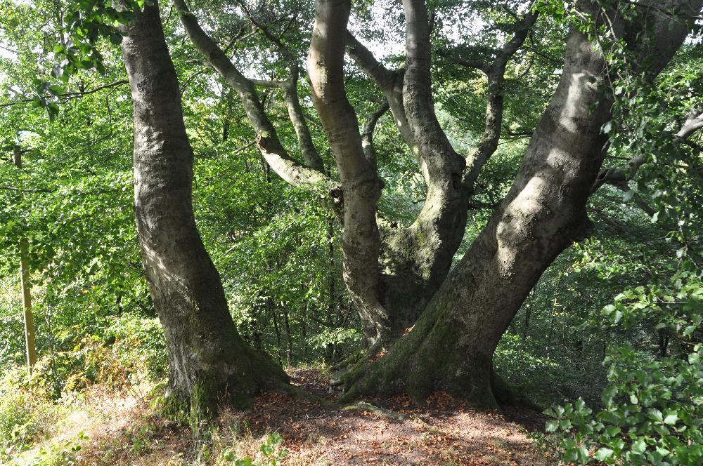 Schwalenberg: Eine Baumgruppe mit knorrigen Stämmen.