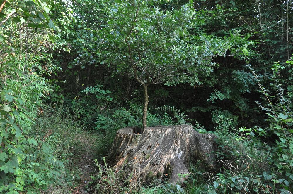 Schwalenberg: Aus einem Baumstumpf wächst ein kleiner Baum.