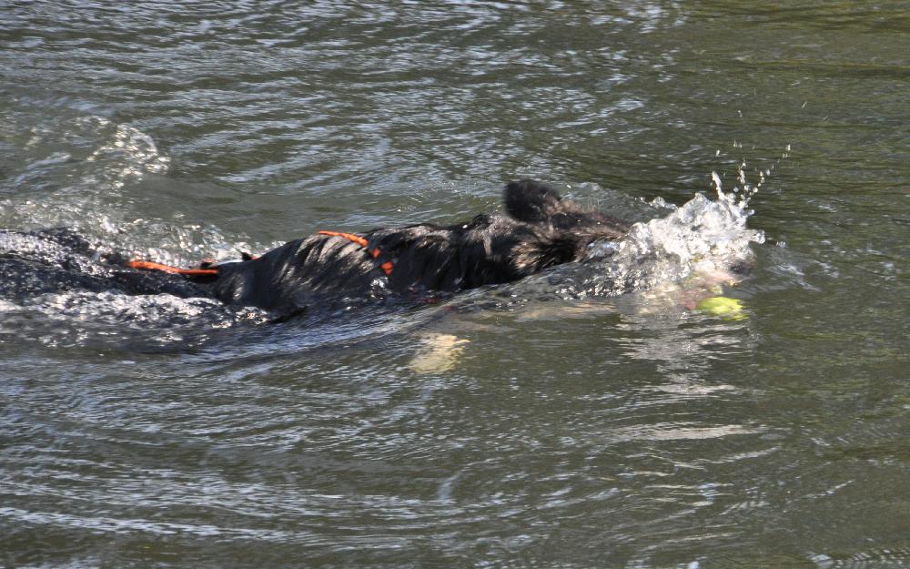 Ein Hund taucht nach einem Apfel im Wasser