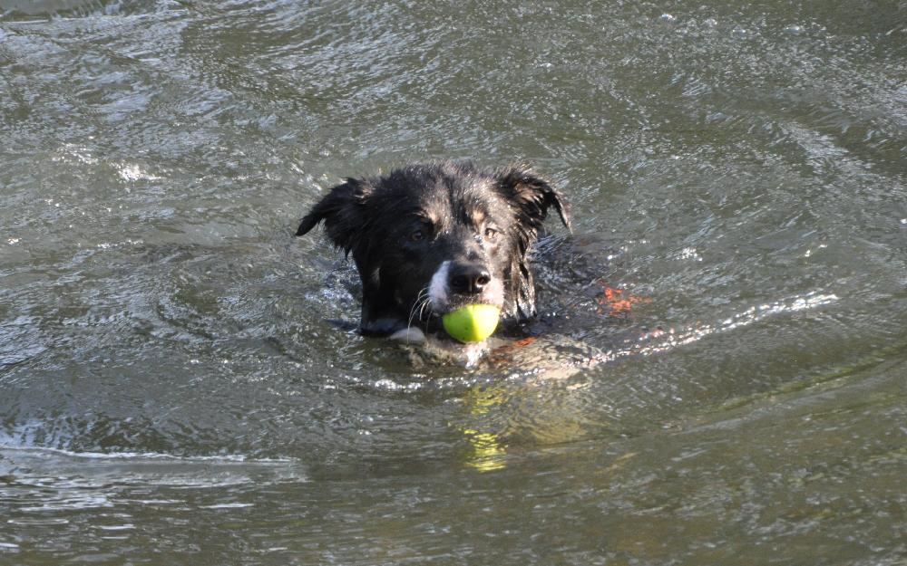 Ein Hund schwimmt im Wasser und hat einen Apfel im Maul