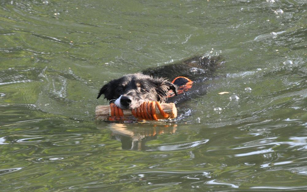 Ein Hund hat einen Ast um dem eine Leine Gebunden ist im Maul und schwimmt dabei