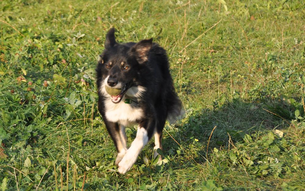 Ein Hund mit einem Tennisball im Mund