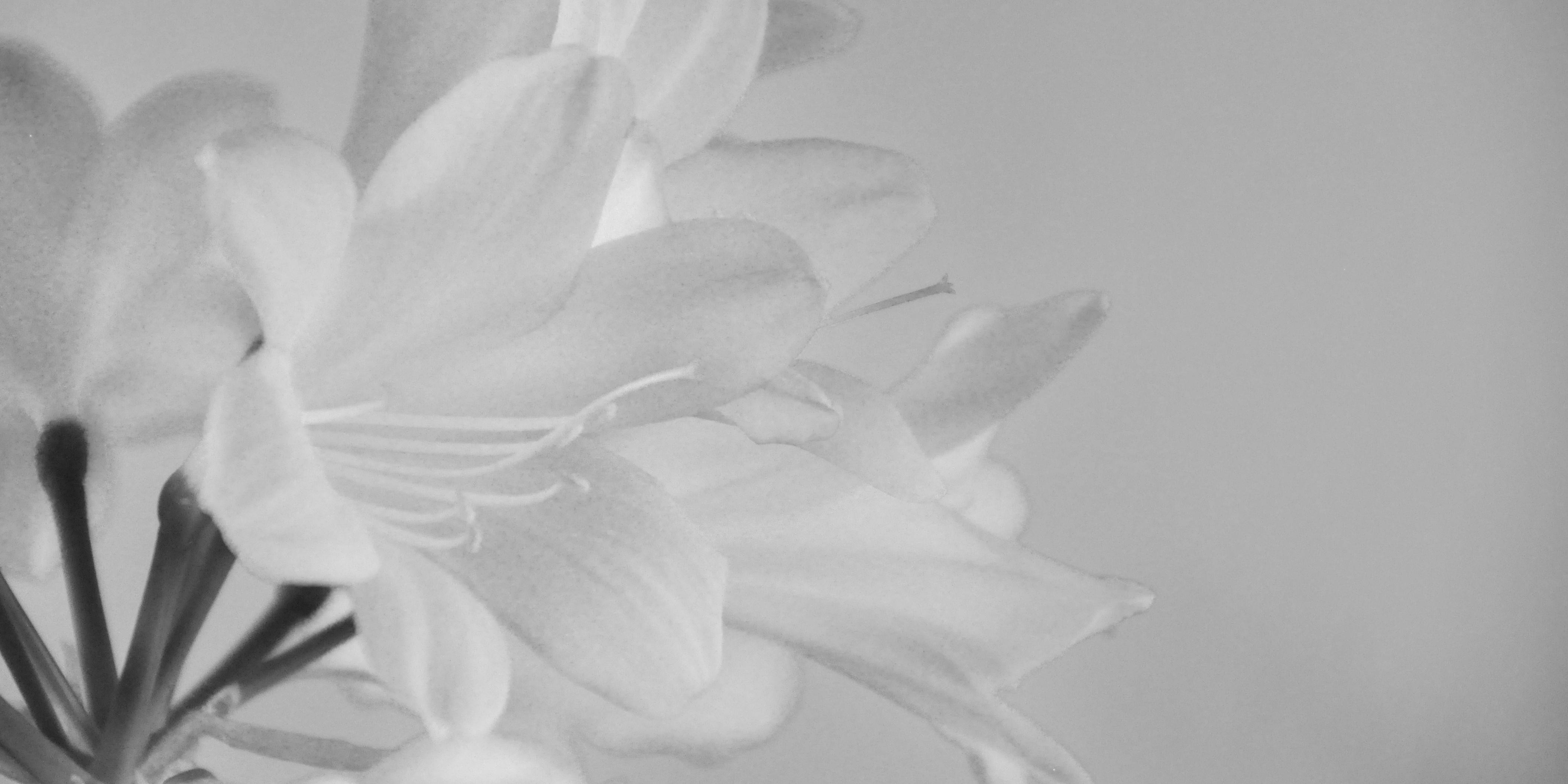 Blüten in schwarzweiß