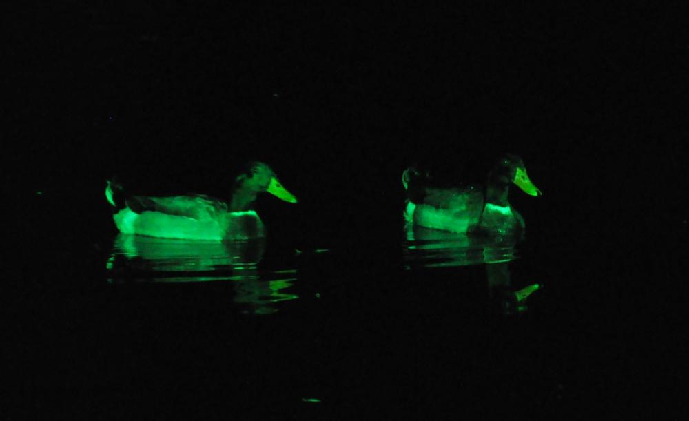 Beleuchtete Enten in der Dunkelheit