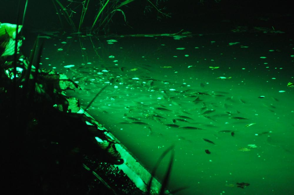 Fischschwarm vom Licht angezogen
