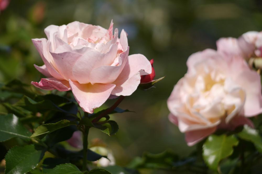 Rosa blühende Rosen
