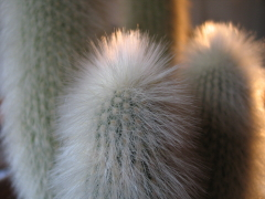 Ein Kaktus - Greisenhaupt