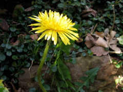Ein Löwenzahn in Blüte